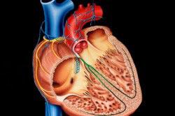 Схематическое изображение человеческого сердца