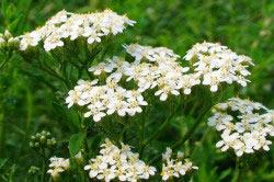 Растение тысячелистника