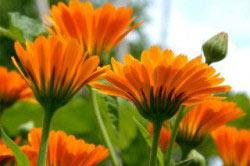 Засушенные цветы календулы помогают от алкоглизма