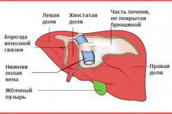 Структура здоровой печени
