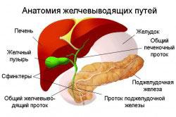 Анатомия желчевыводящих путей